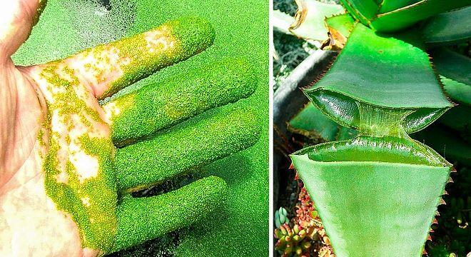 10  მცენარე,  რომელიც  ადამიანს  წამებში  მოკლავს
